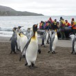 King Penguin — Stock Photo #37350239