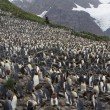 King Penguin — Stock Photo #37350309