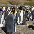 King Penguin — Stock Photo #37350349