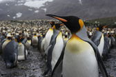 King Penguin — Stockfoto