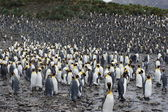 King Penguin — Stock Photo