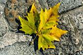 Mapleleaf and cobblestones — Stock Photo