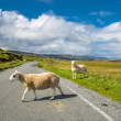Delay due to crossing sheep — Stock Photo