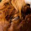 Stock Photo: Curious glance of highland cattle