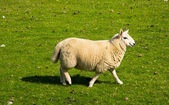 Woolen Lamb — Stock Photo