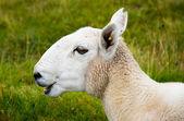 Balido de ovelhas jovens — Fotografia Stock