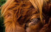 Eye of a highland cattle — Stock Photo