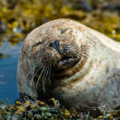 Happy seal relaxing in the seaweed — Stock Photo