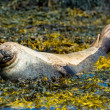 Relaxing seal lying in the seaweed — Stock Photo