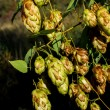Sunlit hops — Stock Photo