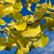 Autumn ginkgo — Stock Photo #35875233