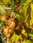 Autumnal hops — Stock Photo