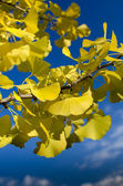 Autumn ginkgo — Stock Photo