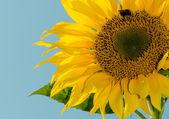 Sunflower — 图库照片
