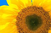 Bright sunflower — Stock Photo