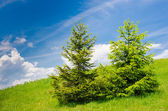 Spruces on montane pasture — Foto Stock