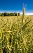 Ripe corn on field — Stock Photo