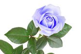 Blue rose isolated on white background — Stock Photo