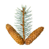 Spruce and pine cone on white background — Stock Photo
