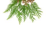 Spruce on white background — Stock Photo