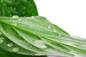 "Sheet ""Spathiphyllum wallisii"" in water — Stock Photo"