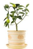 Lemon tree houseplant on white background — Foto Stock