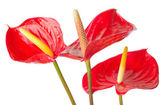 Anthurium  on a white background — Stock Photo