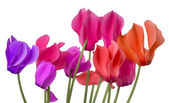 Colorful cyclamen flower on a white background — Stock Photo