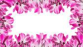 Quadro com flores de ciclâmen — Fotografia Stock