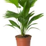 Livistona Rotundifolia palm tree in flowerpot — Stock Photo #44082595