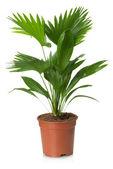 Livistona Rotundifolia palm tree in flowerpot  — Stock Photo