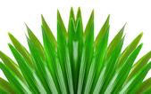 Green livistona on the white background — Stock Photo