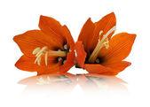 Lilis flower on a white background — Stock Photo
