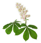 Chestnut bloom on the white background — Stock Photo