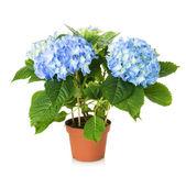 Beautiful blue hydrangea flower — Stock Photo