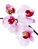 Beautiful orchid on the white background — Stock Photo