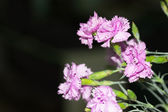 Purple flowers on the dark background — Стоковое фото