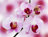 Beautiful orchid on the pink background — Stock Photo