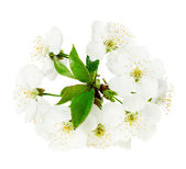 Apple blossom on the white background — Stock Photo
