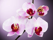 Beautiful orchid on the pink background — 图库照片