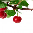 Cherry branch with leaves and few berries isolated on the white — Stock Photo #48156651