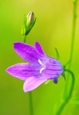 Beautiful bell flower — Stock Photo