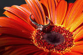 Ring on flower gerbera - Engagement — Stock Photo