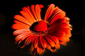 Gerbera flower with heart - Happy Valentines — Stock Photo
