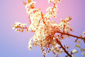 Cherry blossom - spring, pink shade, may — Stock Photo