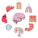 Human organs set — Stock Vector #45196315