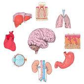 Human organs set — Stock Vector