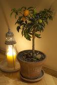 Liten orange träd — Stockfoto