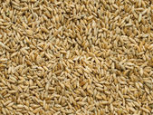 Cereal crop triticale — Stock Photo