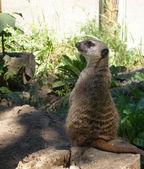 Uno de los suricatos en el zoológico — Foto de Stock